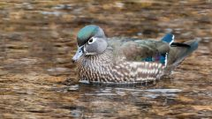 wood duck by Kelly Colgan Azar
