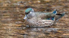 wood duck by Kelly Colgan Azar