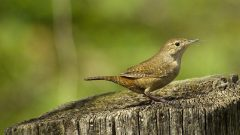 house wren by stephen