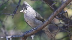 Build a Nest Box for Juniper Titmouse