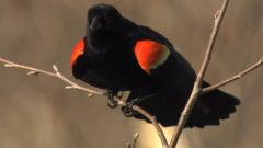 male red-winged blackbird display