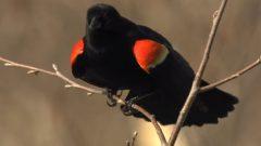 Brilliant Flash: Red-winged Blackbird Territorial Displays
