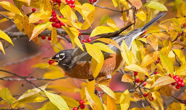 american robin with berries