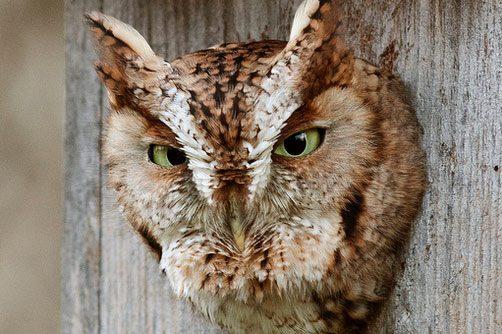 eastern screech owl roosting in a box