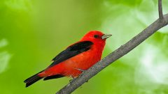 Scarlet Tanager is one species that benefits from shade-grown coffee practices.