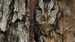 eastern screech-owl camouflaged against tree bark