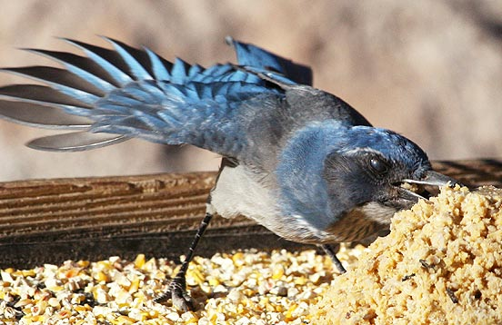 western scrub-jay at bird feeder