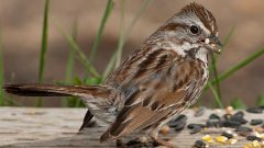 Bird ID Help: Tackling Tricky Sparrows