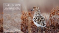 Last of their kind: Spoon-billed Sandpipers in eastern Russia