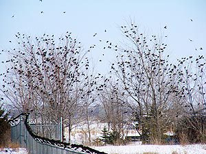 starling flock in backyard trees