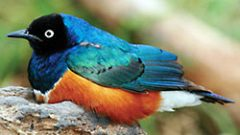 When Females Dress Up: Cooperative Breeding Impact on Plumage