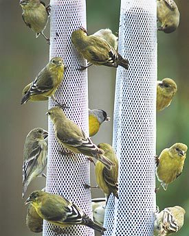 goldfinches on thistle or nyjer socks