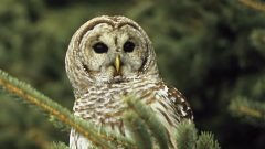 Voices: Barred Owl