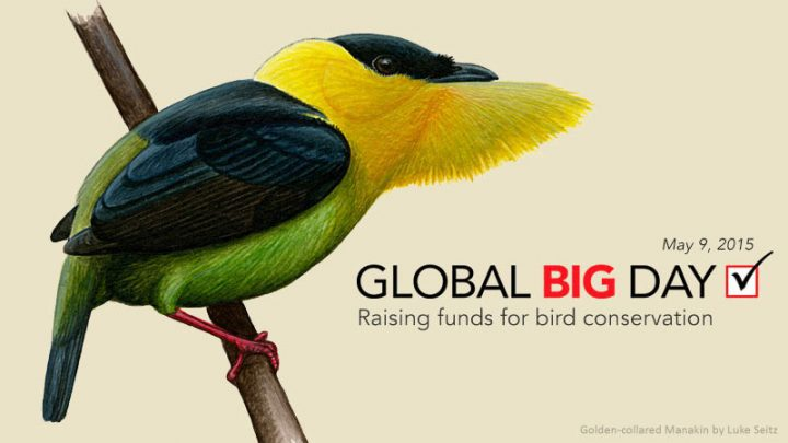 Global Big Day poster, illustration of a Golden-collared Manakin by Luke Seitz