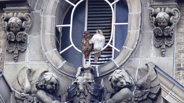 Red-tailed Hawks in NYC. Photo by Lincoln Karim