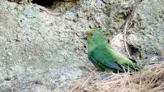 Malherbe's Parakeet is one of New Zealand's endangered birds supported by conservation efforts. Photo by Luis Ortiz-Catedral.