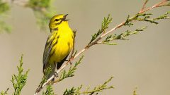How to Listen to Bird Song—Tips and Examples From The Warbler Guide