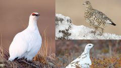 North of the Treeline: The Hardy Lives of Arctic-Breeding Birds