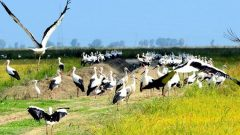 White Storks in Portugal