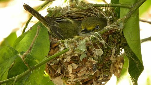 Give A Warm Welcome to Nesting Birds With NestWatch, White-Eyed Vireo nest