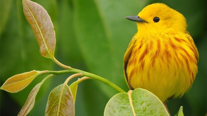 Yellow Warbler by Brian McCaffrey via Birdshare.