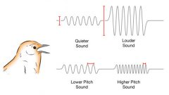 schematic of bird song sound waves