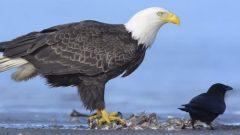 Bald Eagles and Crows Eat Fish on an Alaska Beach