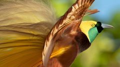 greater bird-of-paradise by tim laman