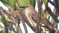 Northern Mockingbird Sings Hundreds of Borrowed Songs