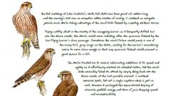 Naturalist's Notebook: A Young Merlin on the Hunt