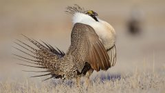 Federal Decision Not to List Greater Sage-Grouse Shows Conservation Is Working. Here's Why