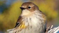 When Does a Songbird Migrate? Depends on What It Eats