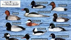 diving duck puzzle from Bird academy