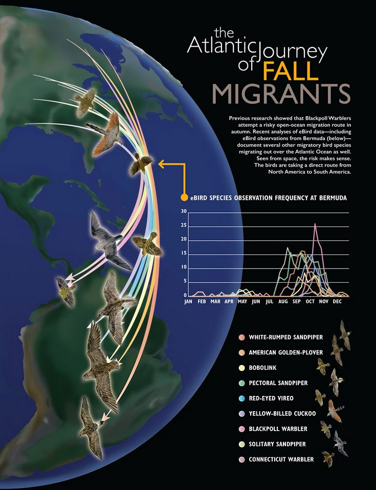 Atlantic Journey of fall migrants, Illustration by Misaki Ouchida