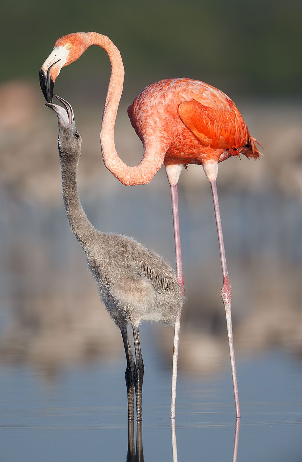 An adult flamingo streams protein-rich crop-milk into its chick's bill.