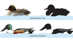 Where's the White? A Simple Question can be the Key in Waterfowl ID
