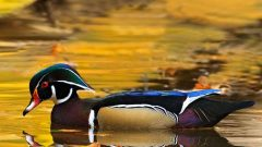 Wood Duck by Malcolm Benn
