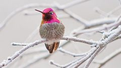 Ruby-throated Hummingbird's Winter Range Moves Northward