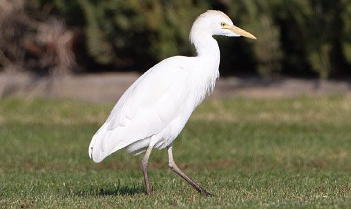 Cattle Egret (nonbreeding), California, February. Adult Cattle Egrets change drastically from the colorful breeding plumage to all white in winter. Photo by Brian Sullivan.