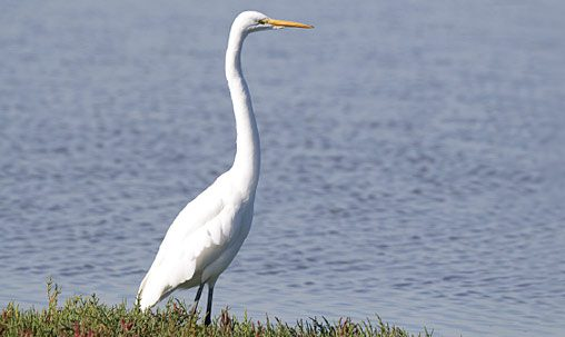 Great Egret (nonbreeding), California, October. Determining the age of Great Egrets is very difficult, as nonbreeding adults are nearly identical to immatures from late summer through late fall. Fortunately, age determination in this species is not critical for identification, because all share black legs year-round, as well as a long, moderately heavy, yellow bill; and importantly, all lack head plumes. Breeding adults show bright green lores briefly in spring. Photo by Brian Sullivan.