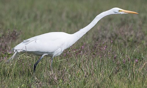 Great Egret (nonbreeding), California, February. Note characteristic black legs, long, moderately heavy, yellow bill, and lack of head plumes. Photo by Brian Sullivan.