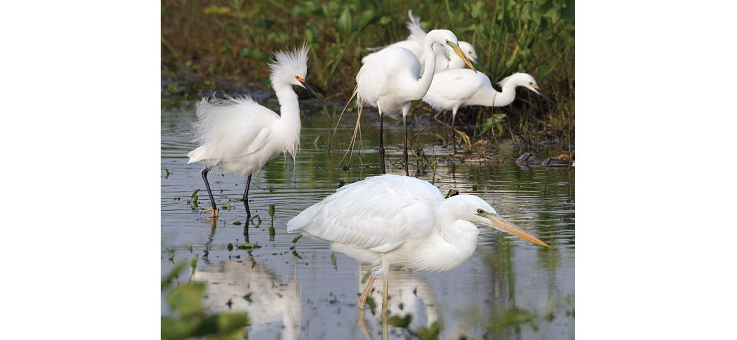 In this fairly typical scene, various species of white herons feed together in a Florida ditch. In this chapter we'll learn how to focus on more than plumage. Key elements of structure and behavior will quickly help you sort out these birds. From front to back: Great Blue Heron (white morph), Snowy Egret, Great White Egret, two Snowy Egrets. Photo by Brian Sullivan.