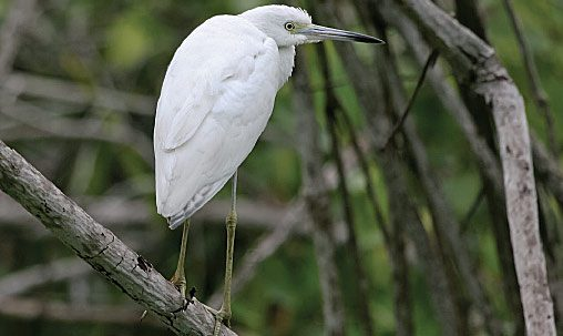 Little Blue Heron (juvenile), Mexico, September. Note mostly white plumage. Compare mainly with juvenile Snowy Egret.Photo by Steve Howell.