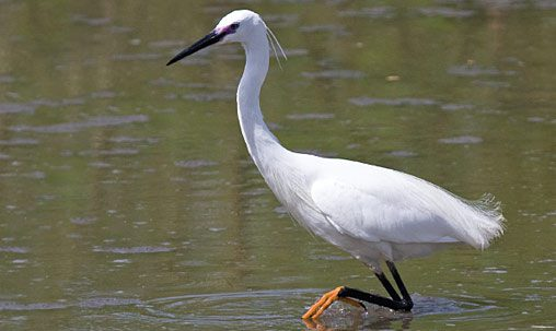 Little Egret (breeding adult), Ethiopia, May. Little Egret is strictly a vagrant to North America and is most similar to Snowy Egret. Little Egret averages slightly larger, longer necked, and generally bulkier. Adults (left) have two elongated head plumes, very different from the shaggy plumes of Snowy. Photo by George Armistead.