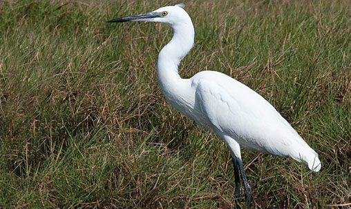 Little Egret (nonbreeding), Oman, December. In Little's nonbreeding plumage note the all-black legs and grayish (not yellow) lores. Beware of hybrids between these two, which appear similar to Snowy Egret and have yellow lores, but usually show head plumes like those of Little Egret. Photo by George Armistead.