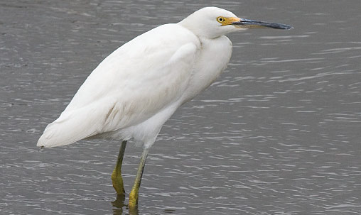 Snowy Egret (first-fall immature), New Jersey, October. Immatures are variable and can have paler bills than are shown here, as well as mostly yellowish legs in summer. By late fall and first winter, they are more adultlike. Photo by George Armistead.