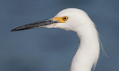 Snowy Egret (nonbreeding), California, December. Note the slim dark bill. Photo by brian Sullivan