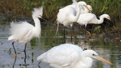 White herons; Great Blue Heron, Great Egret, Snowy Egret, by Brian Sullivan
