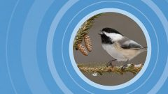 alarm calling Black-capped Chickadee by Steve Gettle/Minden Pictures;