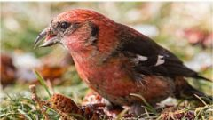 A White-winged Crossbill enjoying a seedy snack. photo by Sunil Gopalan